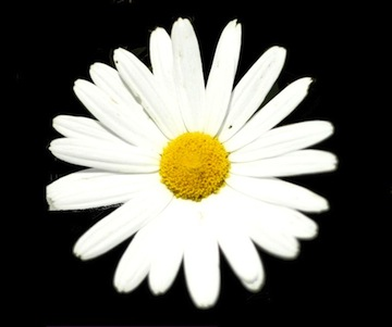 Photo of a brilliant daisy bloom, against a black backdrop